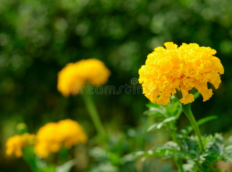 Download Marigolds stock photo. Image of perfume, anise, object - 15913738