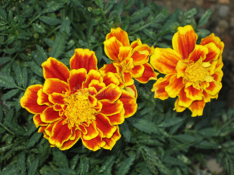 Download Marigolds stock image. Image of leaves, garden, orange - 178835