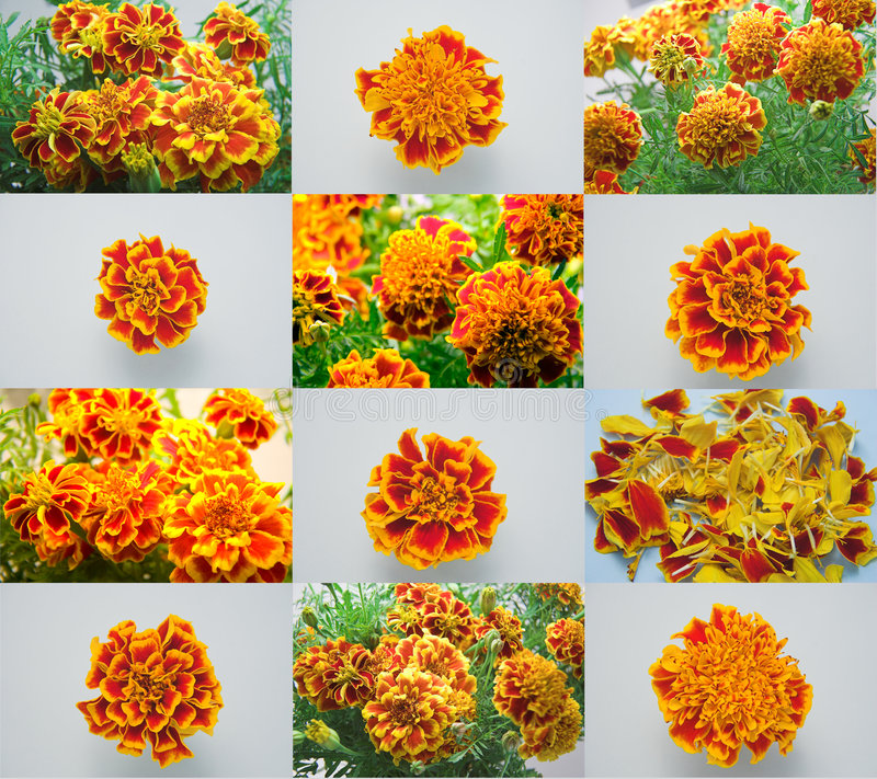 Marigolds royalty free stock images