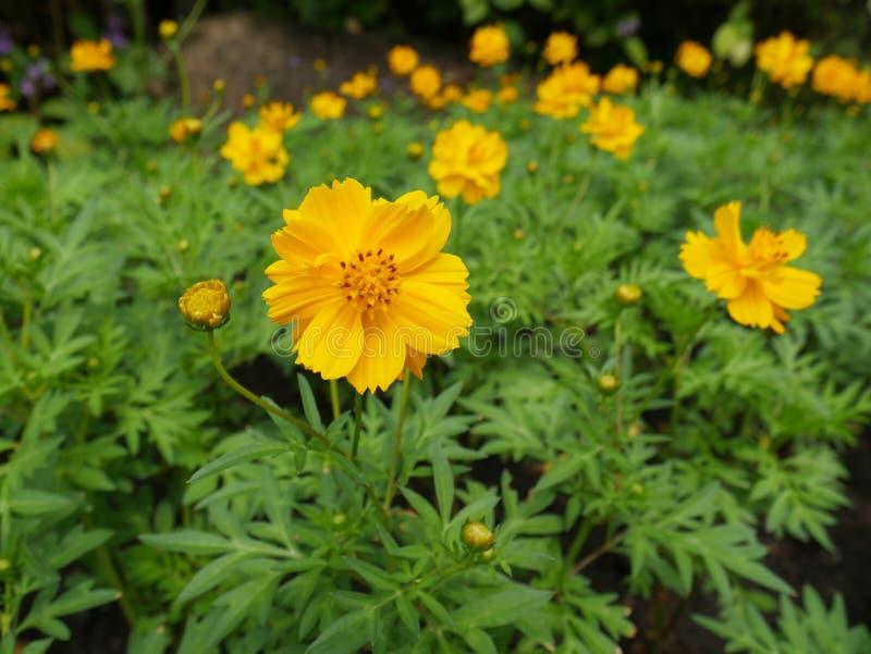 marigolds στοκ φωτογραφία με δικαίωμα ελεύθερης χρήσης