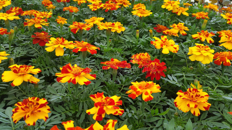marigolds foto de stock