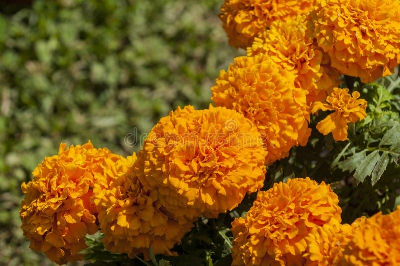 marigolds στοκ φωτογραφία