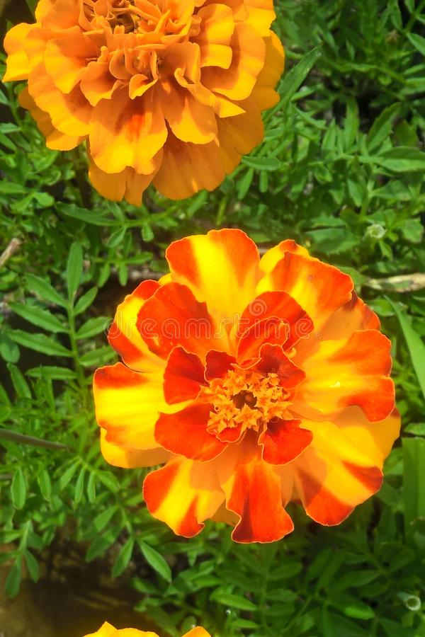 marigolds στοκ εικόνες με δικαίωμα ελεύθερης χρήσης