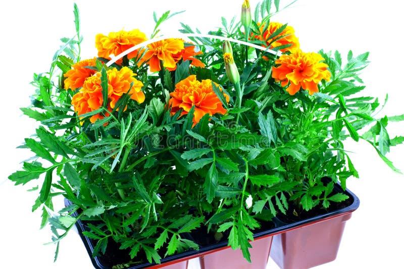 Marigolds alaranjados brilhantes em uns potenciômetros plásticos imagens de stock royalty free