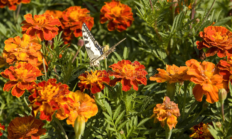 Marigolds and butterfly royalty free stock photos