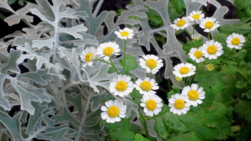 Marigolds and cineraria. Lovely snowy cineraria leaves among other flowers. Marigolds grow near the cineraria stock photos