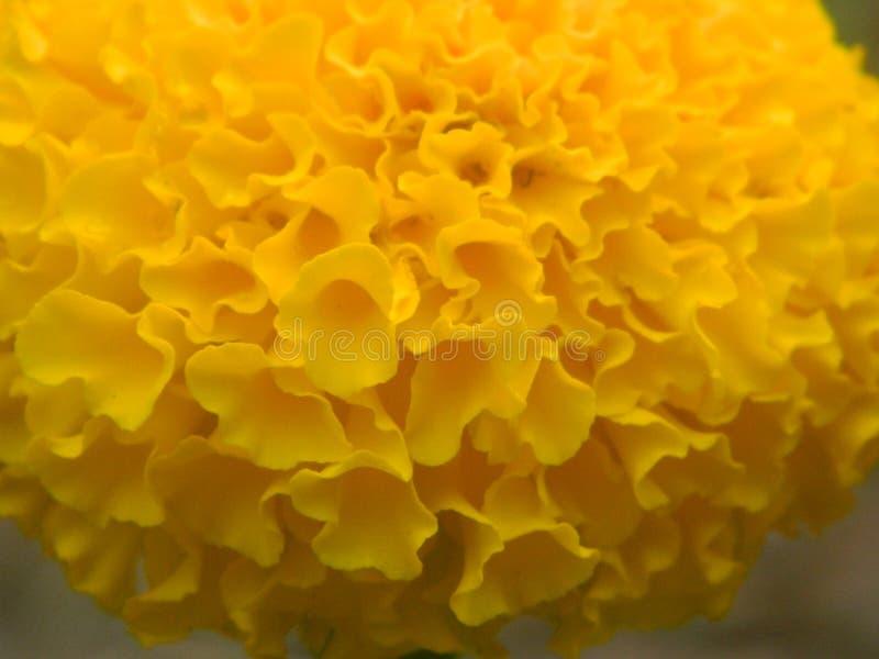 marigolds stock photo