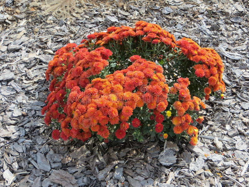 Marigolds in fall season stock images