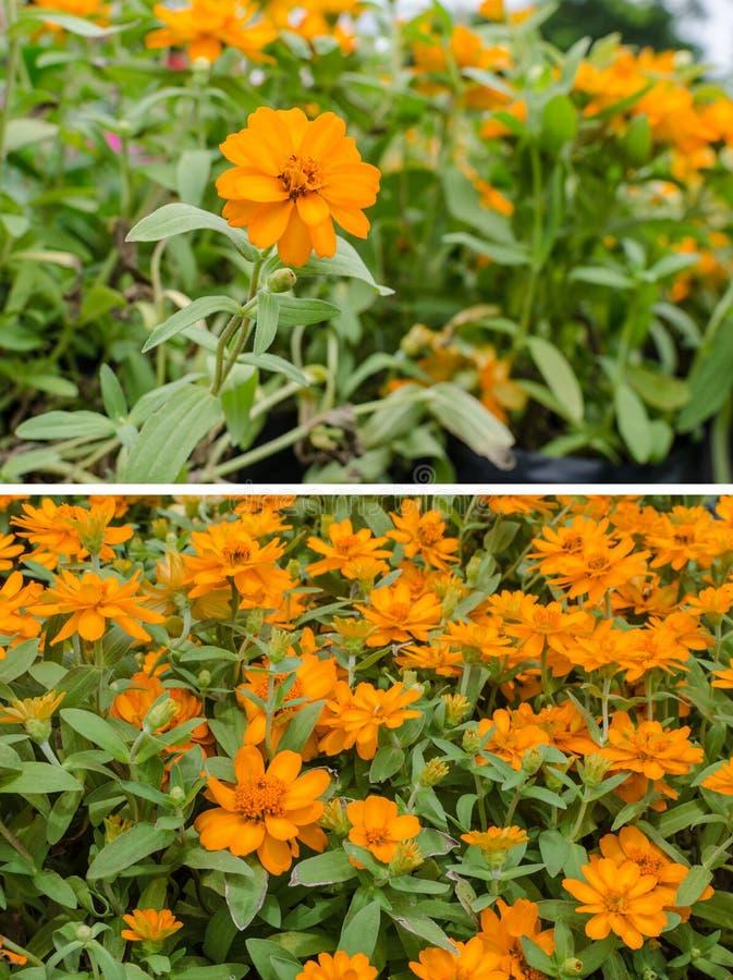 Marigolds Flower In The Garden Stock Image - Image of garden ...