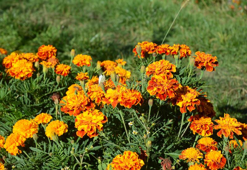 Marigolds flower or Tagetes Tagetes erecta, Mexican, Aztec or African marigold royalty free stock images