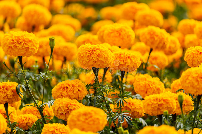 Download Marigolds Flowers In The Garden. Stock Image - Image: 83718491