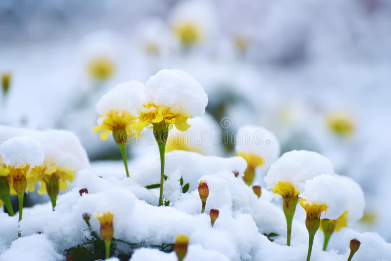 Marigolds flowers under the snow. Marigolds yellow beautiful flowers covered with fluffy snow. Beautiful winter, autumn background royalty free stock photos