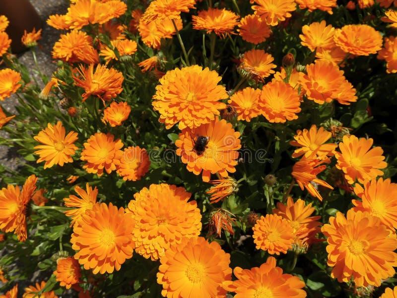 Marigolds in garden stock image