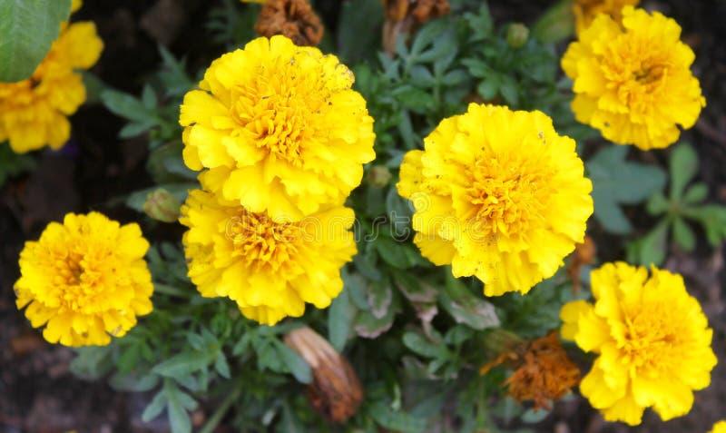 Download Marigolds stock photo. Image of orange, gold, marigold - 73824870