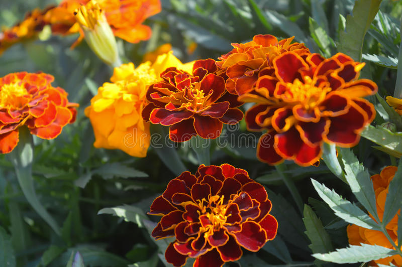 Marigolds. Growing in coutryside, summer time royalty free stock image