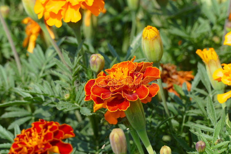 Marigolds. Nice red big marigolds african royalty free stock photo
