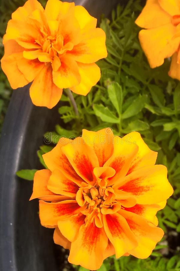Marigolds. No annual is more cheerier or easier to grow than Marigolds. They thrive on full sunshine and can withstand hot summers. Though they grow in almost stock image