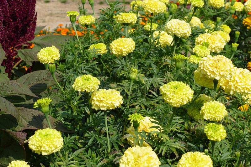 Marigolds. Rare yellow and green marigolds royalty free stock photo