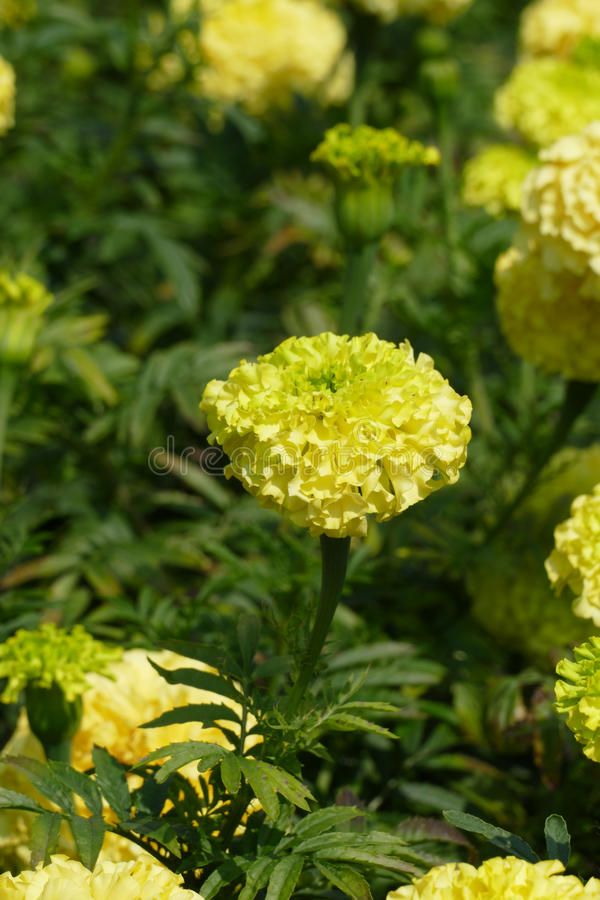 Marigolds. Rare yellow and green marigolds royalty free stock photography