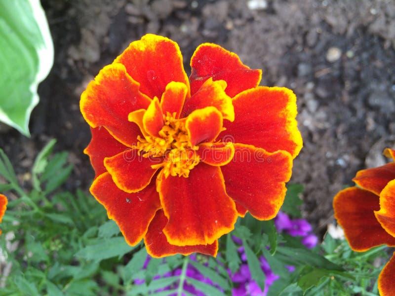 Marigolds In Summer stock image