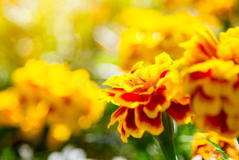 Marigolds Tagetes erecta, Μεξικάνικο μάρμαρο, Aztec marigold, African marigold στοκ φωτογραφία με δικαίωμα ελεύθερης χρήσης
