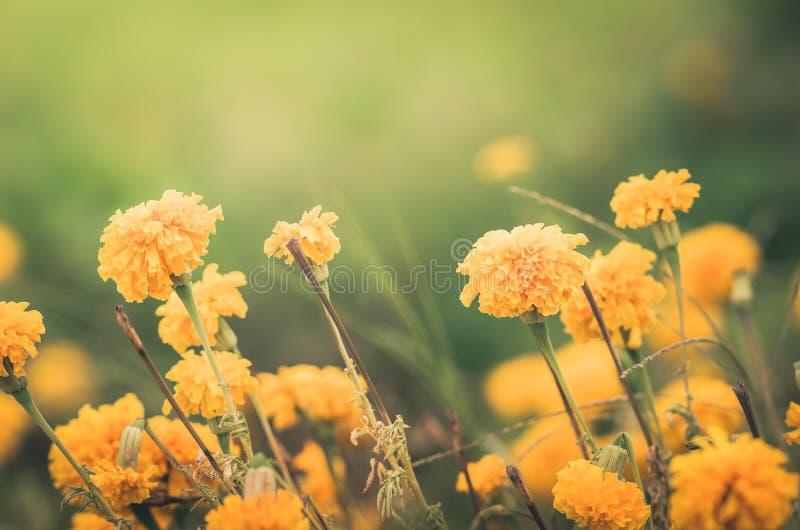 Marigolds or Tagetes erecta flower vintage royalty free stock images