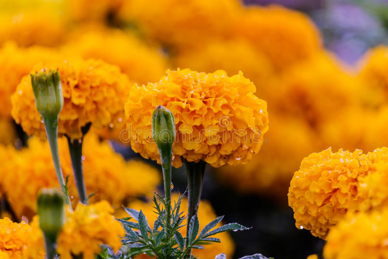 Marigolds (Tagetes erecta, Mexican marigold, Aztec marigold, Afr. Marigolds (Tagetes erecta, Mexican marigold, Aztec marigold stock photo