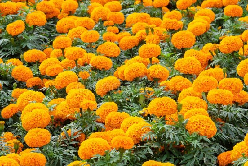 Marigolds (tons de amarelo e laranja), Floral background Tagetes erecta, marigold mexicano, Aztec marigold, marigold africano foto de stock royalty free