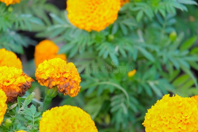 Marigolds tons de amarelo e laranja, fundo floral (Tagetes erecta, marigold mexicano, Aztec marigold, marigold africano imagem de stock