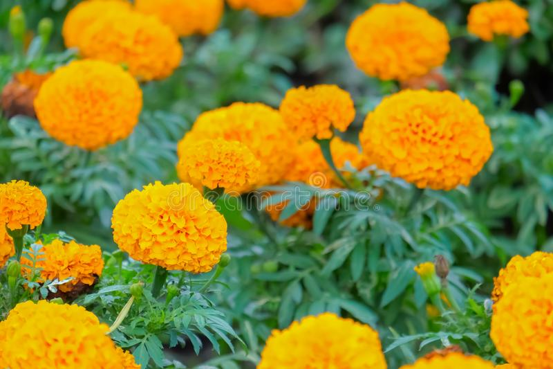Marigolds tons de amarelo e laranja, fundo floral (Tagetes erecta, marigold mexicano, Aztec marigold, marigold africano imagens de stock royalty free