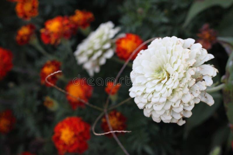 Marigolds und Weißzinnias 3112 lizenzfreies stockfoto