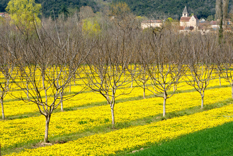 Marigolds and walnut trees