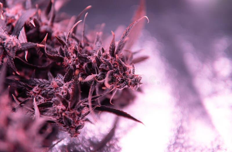 Marihuan trichomes w górę Medyczny żniwo obrazy royalty free