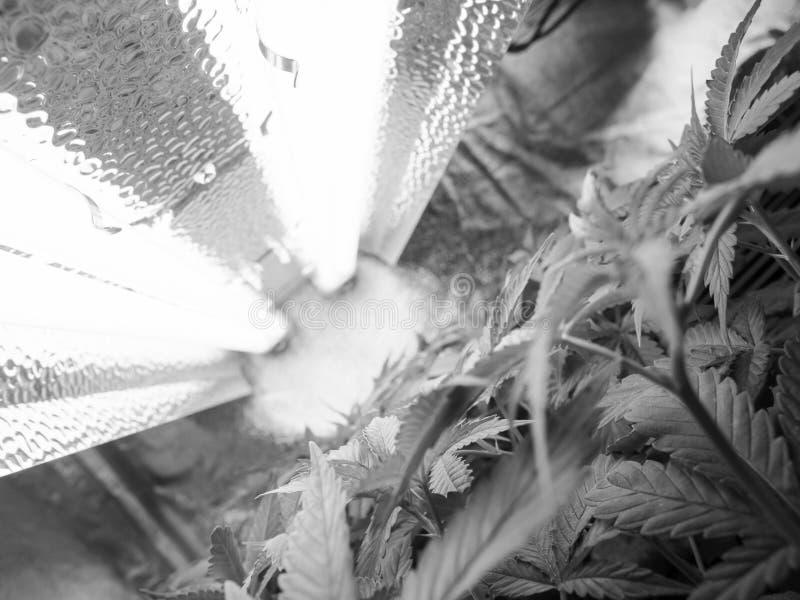 marihuana stockfotos