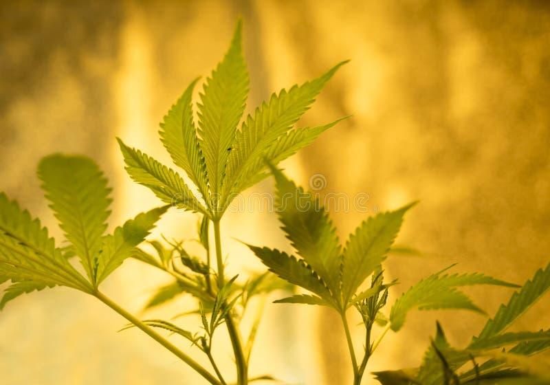 marihuana lizenzfreie stockfotografie