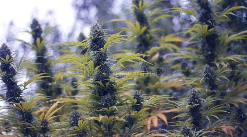 marihuana zdjęcia royalty free