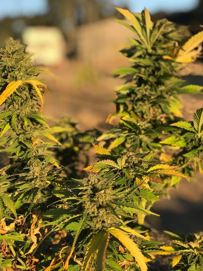 Marihuana-Anlage bei Sonnenuntergang lizenzfreie stockfotos