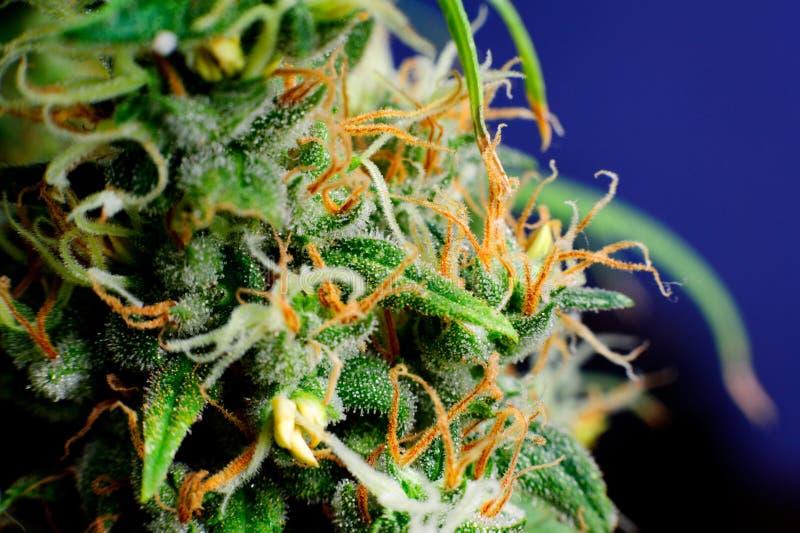 Marihuana-Betriebsmakroknospe lizenzfreies stockfoto
