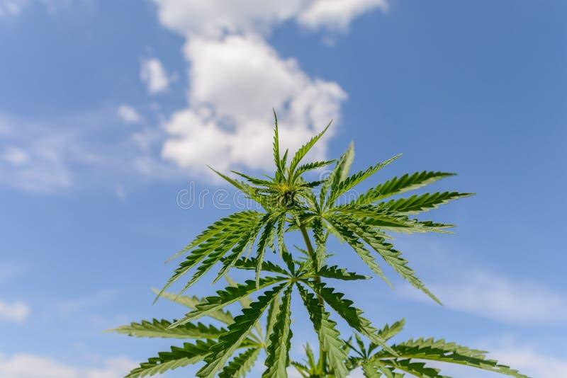Marihuana bij openlucht het landbouwbedrijfgebied van de luchtcannabis stock foto's