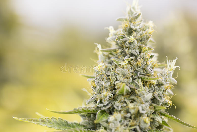 Marihuana bloeiende knoppen (cannabis), hennepinstallatie Zeer grote binnenonkruidoogst stock afbeelding