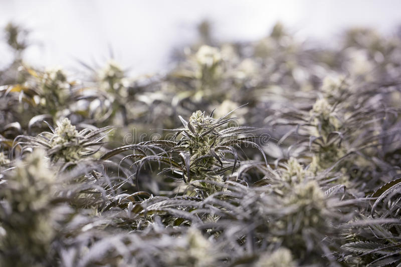 Marihuana bloeiende knoppen (cannabis), hennepinstallatie Zeer grote binnenonkruidoogst stock foto