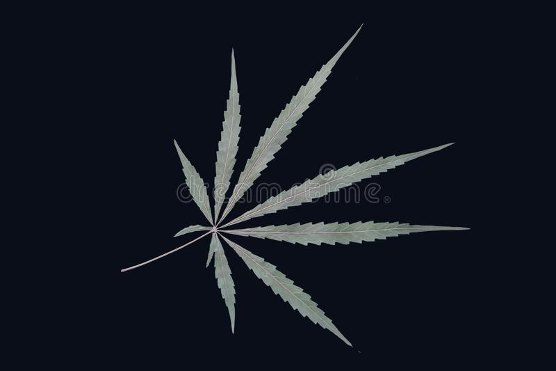 Marihuana cannabis deja secos a pacientes con cáncer xoil estudio de abuso aísla fondo verde ilegal foto de archivo libre de regalías