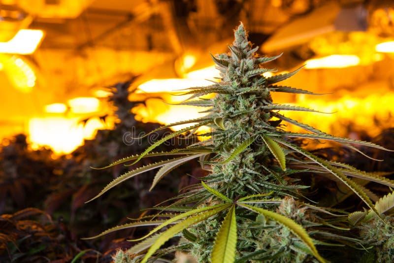 Marihuana in einem Wachsungsraum unter Lichtern lizenzfreie stockfotos
