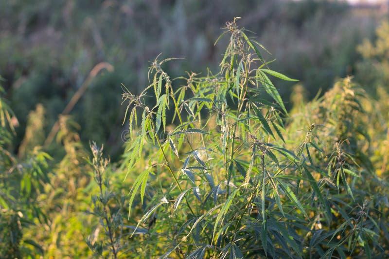 Marihuana krzak, z silnymi gałąź na którym dojrzali ziarna zdjęcie royalty free