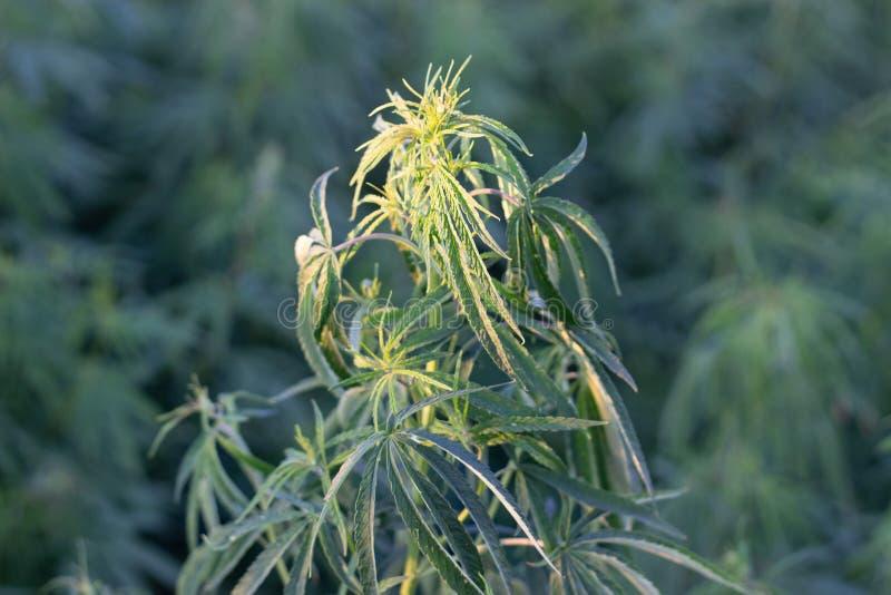 Marihuana krzak, z silnymi gałąź na którym dojrzali ziarna obraz royalty free