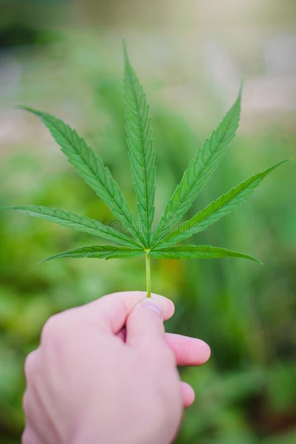 Marihuana liścia roślina na ręce w domu ogródzie zamkniętym w górę, Niektóre ludzie marihuan używa je ziołowego uśmierzać objawy  obraz stock