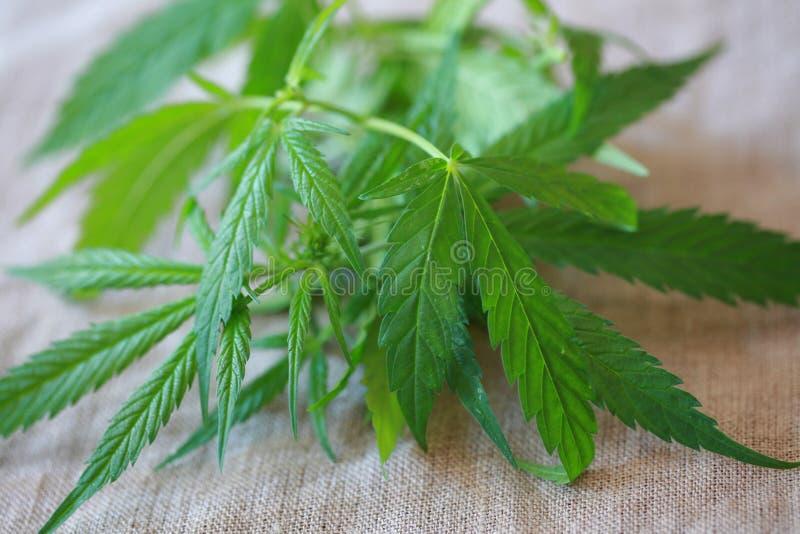 Marihuana liścia zieleń opuszcza marihuanie naturalnego konopie obraz royalty free