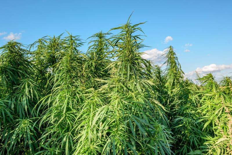 Marihuana op gebied stock foto's