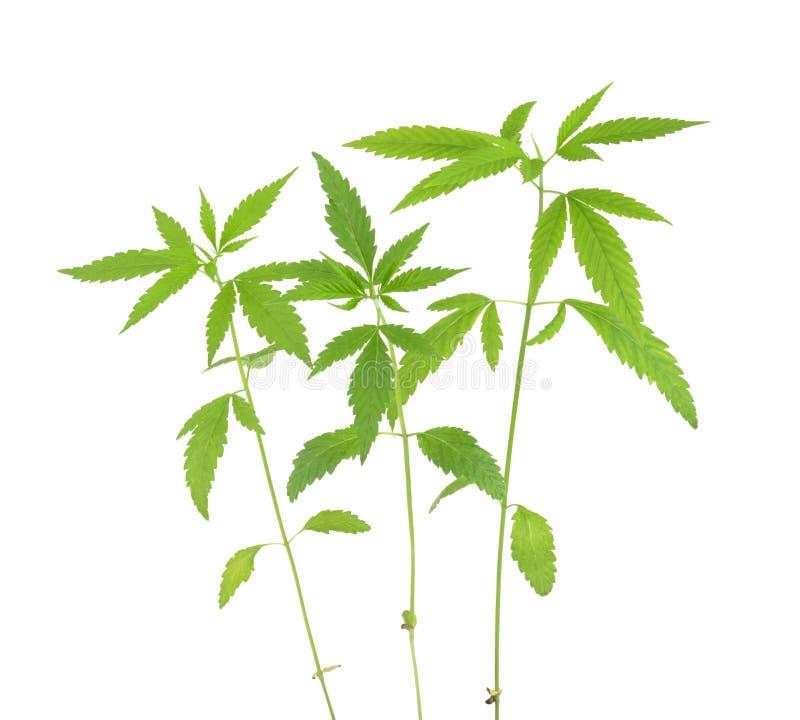 Marihuana sativa l roślina na białym tle zdjęcie royalty free