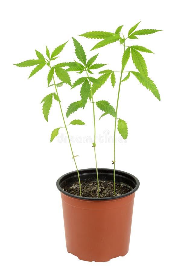 Marihuana sativa l roślina na białym tle zdjęcia royalty free